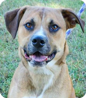Shepherd (Unknown Type) Mix Dog for adoption in Red Bluff, California - Scooter