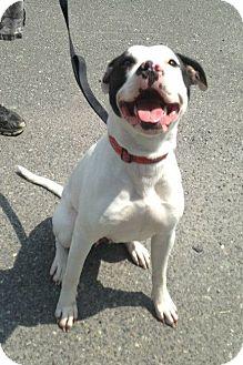 Labrador Retriever/American Pit Bull Terrier Mix Dog for adoption in New York, New York - Bebe