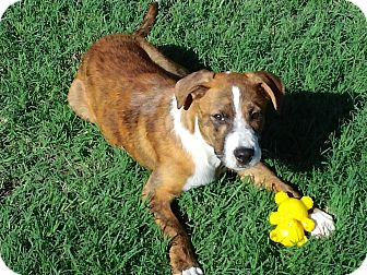 Terrier (Unknown Type, Medium) Mix Puppy for adoption in Greeley, Colorado - Brutus
