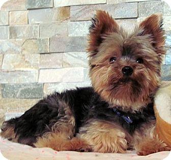 Yorkie, Yorkshire Terrier Mix Dog for adoption in Toronto, Ontario - Jake