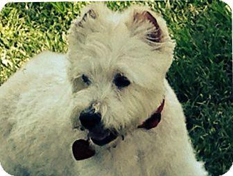 Westie, West Highland White Terrier/Schnauzer (Standard) Mix Dog for adoption in Fort Worth, Texas - McGREGOR