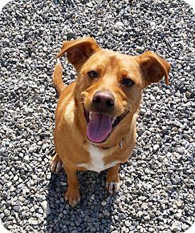 Blue Heeler/Terrier (Unknown Type, Medium) Mix Dog for adoption in Bellingham, Washington - Blake