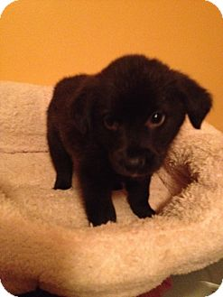 Schipperke Mix Puppy for adoption in Charlotte, North Carolina - Chess (Board Game Litter)