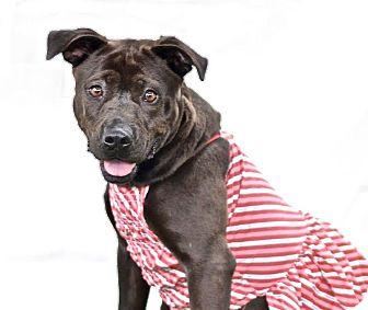 American Staffordshire Terrier/Labrador Retriever Mix Dog for adoption in Darlington, South Carolina - Nikki