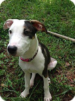 Pointer Mix Puppy for adoption in Gainesville, Georgia - grey