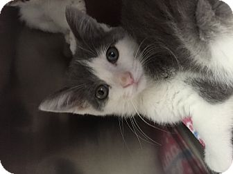 Domestic Shorthair Kitten for adoption in Monroe, Michigan - Lilly