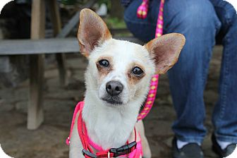 Chihuahua/Fox Terrier (Smooth) Mix Dog for adoption in Fayetteville, Arkansas - Tulip