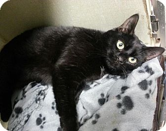 Domestic Shorthair Cat for adoption in Everett, Ontario - Kiwi