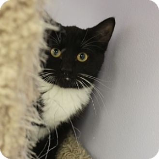Domestic Shorthair Kitten for adoption in Naperville, Illinois - Ragu