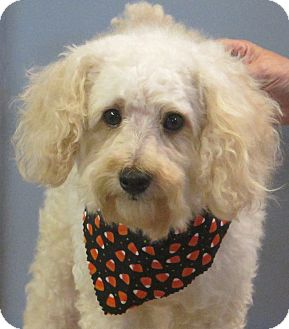 Poodle (Miniature) Dog for adoption in Allentown, Pennsylvania - Beasley