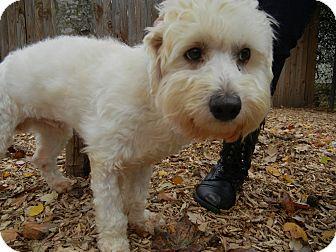 Maltese/Poodle (Miniature) Mix Dog for adoption in Houston, Texas - Scrubby