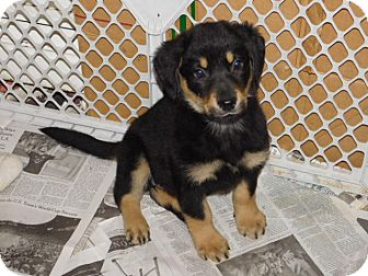 German Shepherd Dog Mix Puppy for adoption in Conesus, New York - Tegan