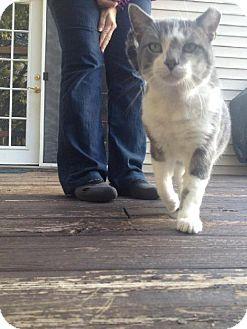 Domestic Shorthair Cat for adoption in Columbus, Ohio - Feaver
