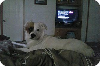 Corgi/Australian Shepherd Mix Dog for adoption in Wytheville, Virginia - Ms.Kay