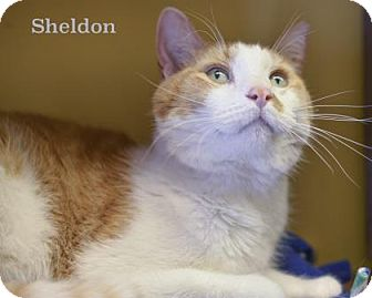 Domestic Shorthair Cat for adoption in West Des Moines, Iowa - Sheldon