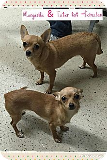 Chihuahua Mix Dog for adoption in Beacon, New York - Margarita and Tater Tot