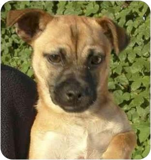 Pug/Chihuahua Mix Puppy for adoption in El Segundo, California - Alex