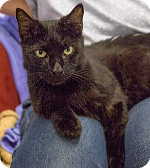 Domestic Shorthair Cat for adoption in Elmwood Park, New Jersey - Poncho