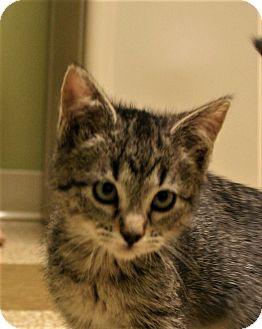 Domestic Shorthair Kitten for adoption in Hastings, Nebraska - Kittens