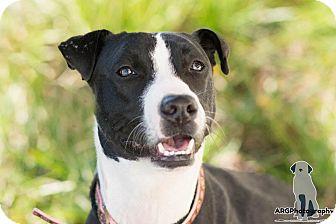 Border Collie/Whippet Mix Dog for adoption in boston, Massachusetts - Gwen,love, love love