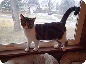 Domestic Shorthair Cat for adoption in Des Moines, Iowa - Maggie