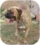 Bullmastiff Dog for adoption in Ladera Ranch, California - Mugz