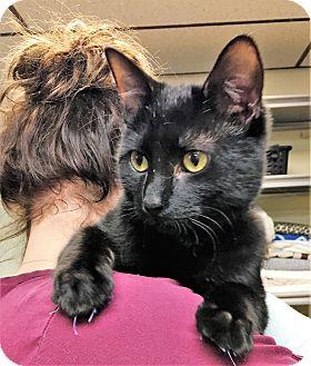 Burmese Cat for adoption in Toledo, Ohio - Binx