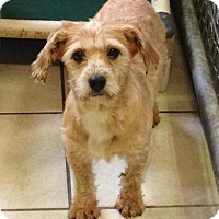 Adopt A Pet :: Goldie - Coudersport, PA