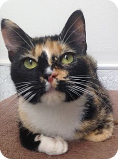 Calico Cat for adoption in Houston, Texas - Patches