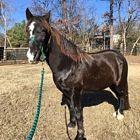 Tennessee Walking Horse for adoption in Mouth Of Wilson, Virginia - Hobbit