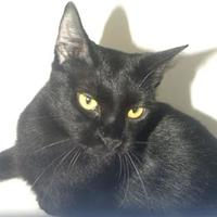 Domestic Shorthair/Domestic Shorthair Mix Cat for adoption in St. Thomas, Virgin Islands - SKYLA