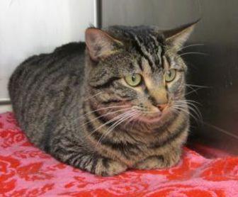 Domestic Shorthair/Domestic Shorthair Mix Cat for adoption in McCall, Idaho - Yolanda