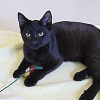Bombay Cat for adoption in Beverly Hills, California - Audi