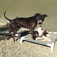Adopt A Pet :: Joey - Los Angeles, CA