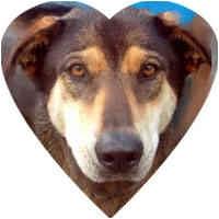 Shepherd (Unknown Type)/Husky Mix Dog for adoption in Herndon, Virginia - Lena