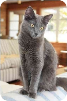 Domestic Longhair Cat for adoption in Naples, Florida - Toby