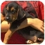 Photo 4 - Doberman Pinscher/Australian Shepherd Mix Puppy for adoption in Pisgah, Alabama - Russell