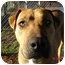 Photo 2 - Boxer/Pit Bull Terrier Mix Dog for adoption in Foster, Rhode Island - Sugar