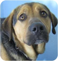 Basset Hound/Shepherd (Unknown Type) Mix Dog for adoption in Olathe, Kansas - Guiness