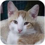 Domestic Shorthair Kitten for adoption in Wheaton, Illinois - Bowie