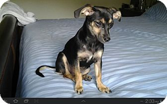 Chihuahua/Dachshund Mix Puppy for adoption in Hilliard, Ohio - Bebe