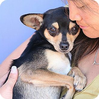 Chihuahua Dog for adoption in Berkeley, California - Rickie