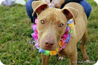 American Pit Bull Terrier/Labrador Retriever Mix Puppy for adoption in Boynton Beach, Florida - Hope