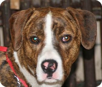 Boxer/Hound (Unknown Type) Mix Dog for adoption in Jacksonville, Florida - Boone