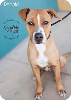 Boxer/American Staffordshire Terrier Mix Dog for adoption in Las Vegas, Nevada - Donald