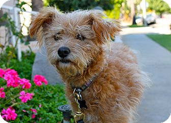 Poodle (Miniature)/Terrier (Unknown Type, Small) Mix Dog for adoption in Los Angeles, California - Nora