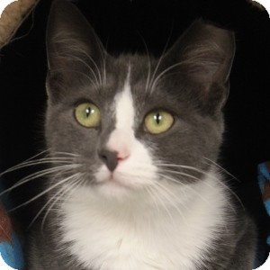 Domestic Shorthair Kitten for adoption in Naperville, Illinois - Moe