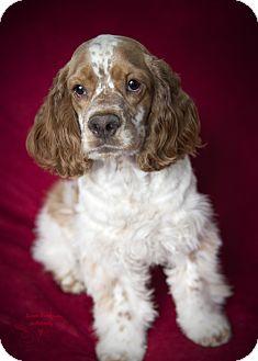 Cocker Spaniel Puppy for adoption in Rancho Mirage, California - Nicholas