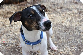 Jack Russell Terrier/Whippet Mix Dog for adoption in Voorhees, New Jersey - Carmine