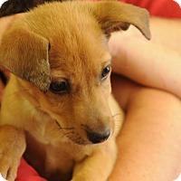 Adopt A Pet :: Tulip - Philadelphia, PA